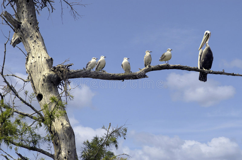 Gang on a limb!. Seagulls all looking at a Pelican who has landed on their limb. FUNNY shot royalty free stock photo
