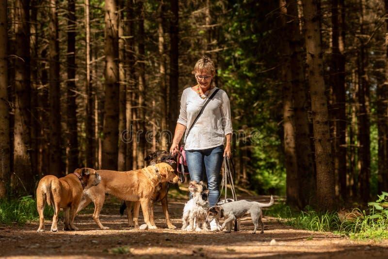 Gang met vele honden op een leiband Hondbabysitter met verschillende hondrassen in het mooie bos royalty-vrije stock fotografie