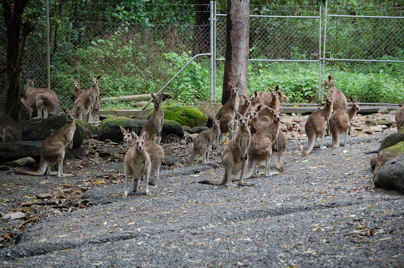 Gang of roos stock image