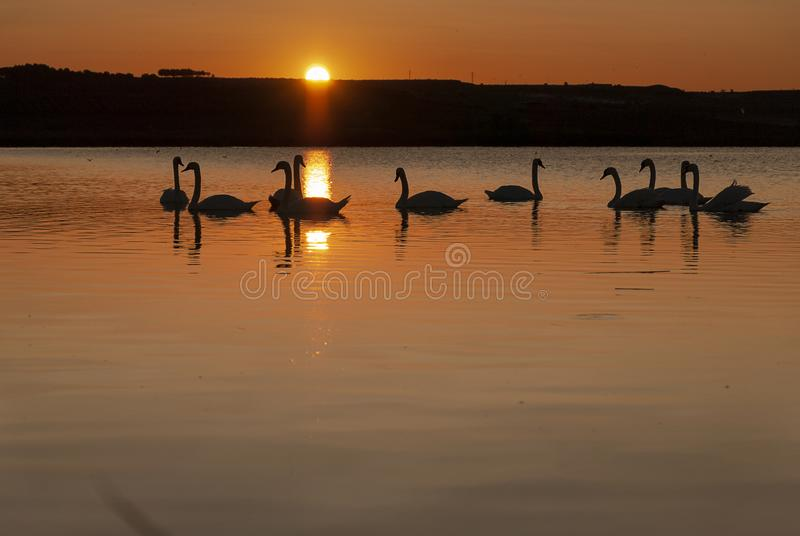 Gang of swans at sunrise. Backlight. Warm tones on the water lake. Silhouettes, shadows. Beautiful background stock photography