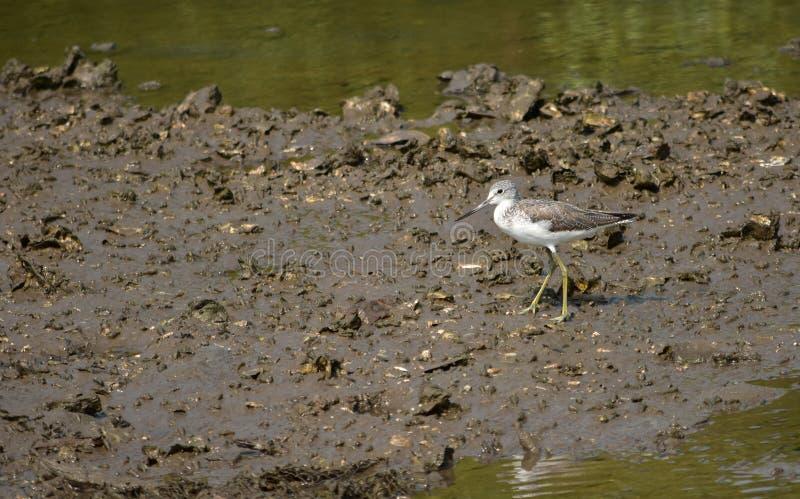 Gang van de vogel de gemeenschappelijke groenpootruiter op de modder vlak, in natuurlijk Ha royalty-vrije stock afbeelding