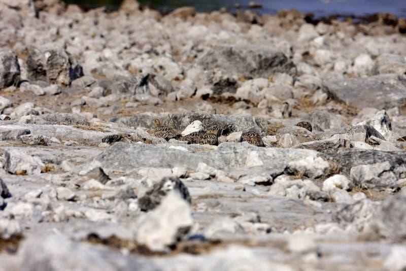ganga Amarillo-throated, gutturalis del Pterocles, en el parque nacional de Etosha, Namibia imagenes de archivo