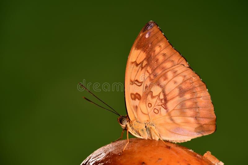Ganga de papillon/Abrota photos stock