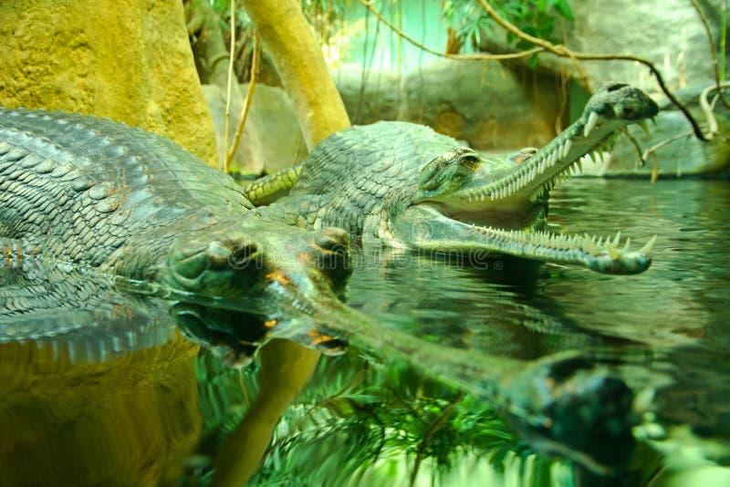 Gangeticus del Gavialis fotografía de archivo