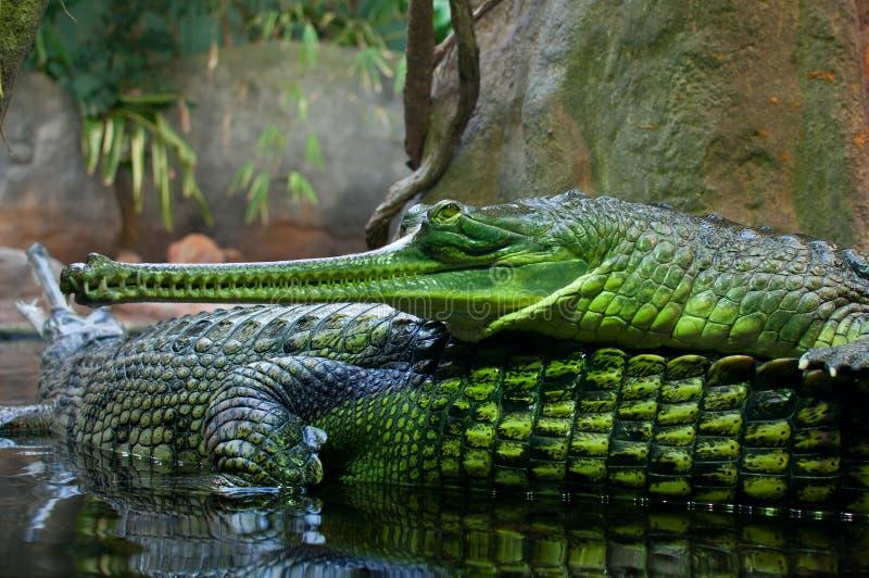 gangeticus gavial gavialis gharial印地安人 免版税库存照片