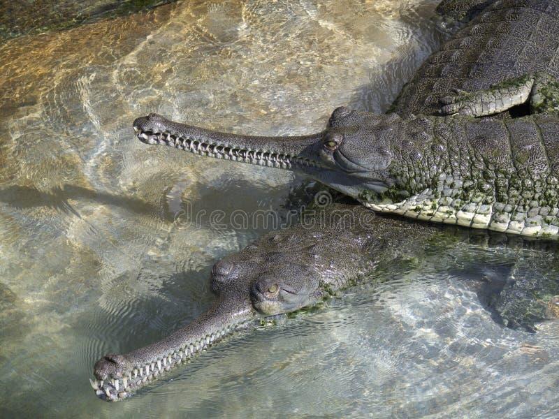 gangeticus gavialis 库存图片