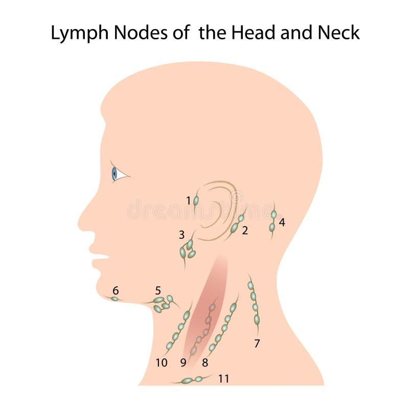 Ganglions lymphatiques de la tête et du cou illustration stock