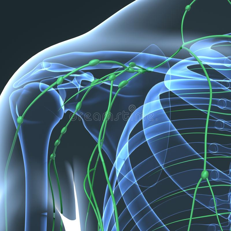 Excelente Diagrama De Los Ganglios Linfáticos En El Cuerpo Imágenes ...