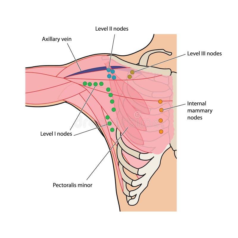 Ganglios linfáticos del pecho y del axilla ilustración del vector