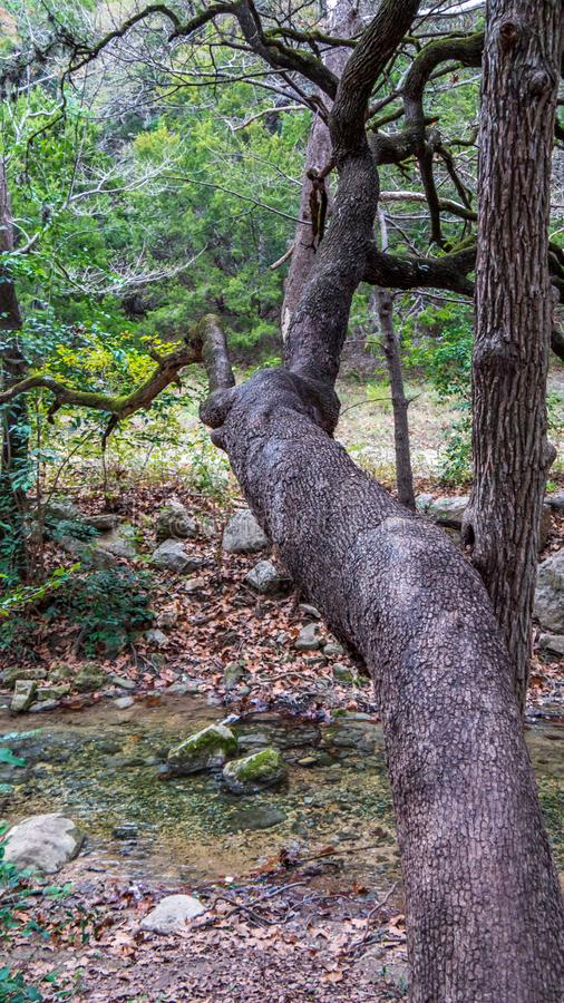 Gangly träd som når och korsar över liten flodström fotografering för bildbyråer