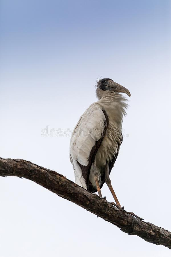 Gangly wood stork Mycteria americana perches high in a pine tree royalty free stock photography