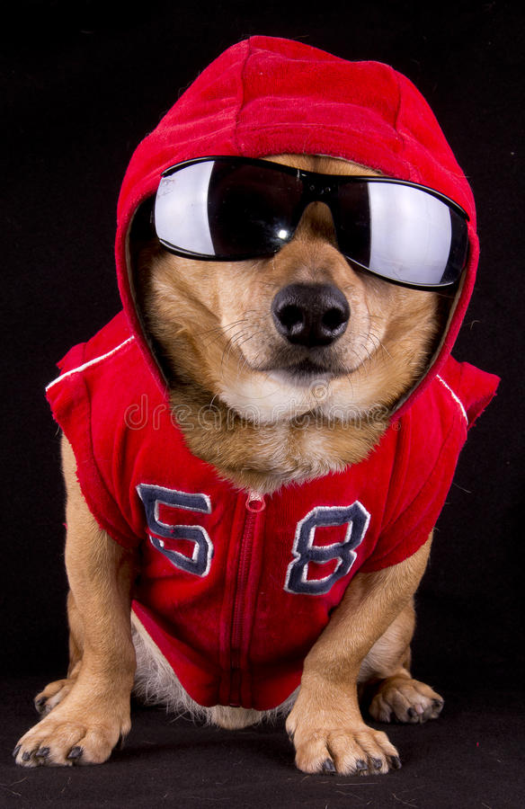 Dog and fur. A gangsta red rapper dog royalty free stock photo