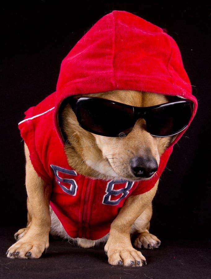 Dog and fur. A gangsta red rapper dog stock image
