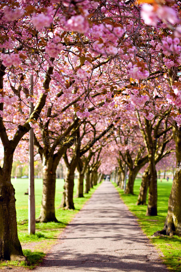 Gangweg met tot bloei komende pruimbomen die wordt omringd royalty-vrije stock foto's