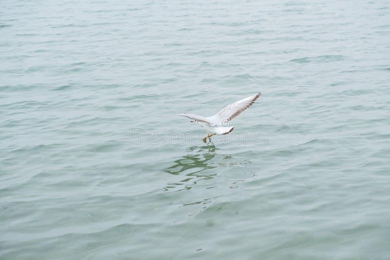 Gannet在飞行中在海 免版税库存照片