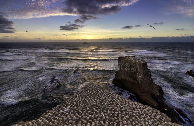 Gannet殖民地在奥克兰附近的Muriwai海滩 免版税库存图片