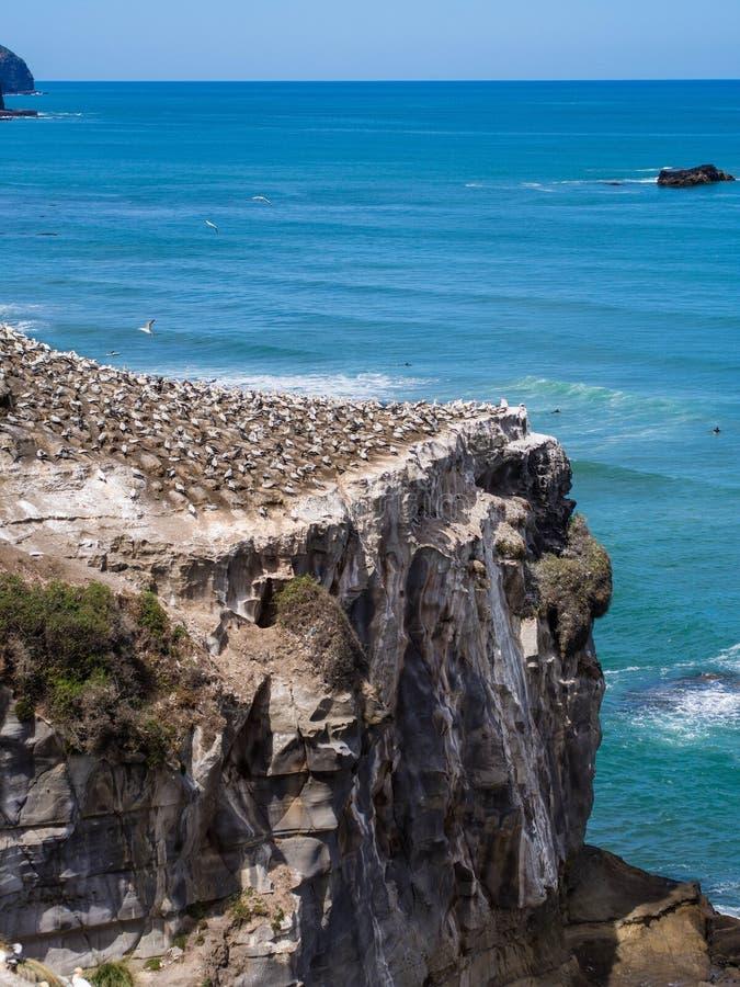 Gannet殖民地@ Muriwai海滩,奥克兰,新西兰 免版税库存图片