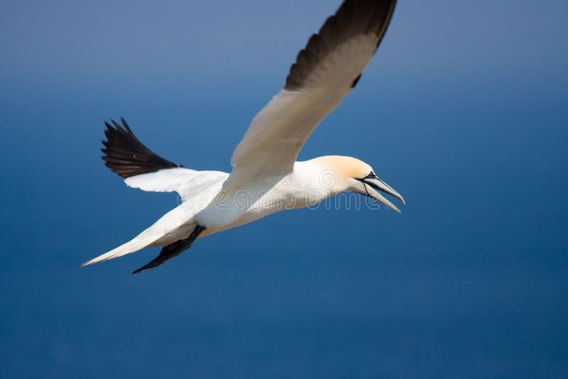 gannet βόρειος στοκ εικόνες με δικαίωμα ελεύθερης χρήσης