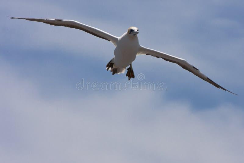 Gannet που προετοιμάζεται να προσγειωθεί στοκ φωτογραφία με δικαίωμα ελεύθερης χρήσης