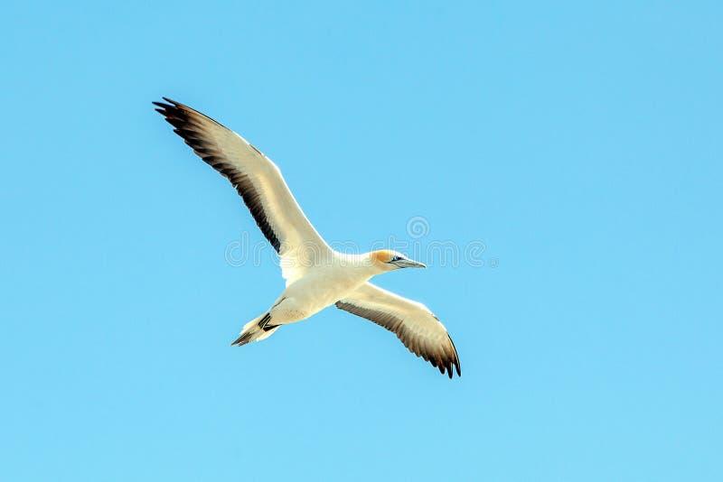 Gannet στην παραλία Muriwai, Ώκλαντ, Νέα Ζηλανδία στοκ εικόνα με δικαίωμα ελεύθερης χρήσης