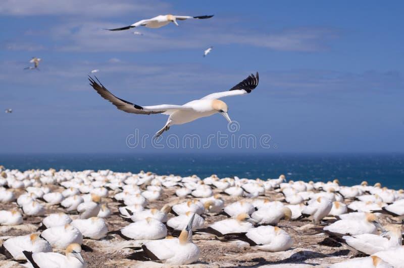 gannet полета стоковое фото