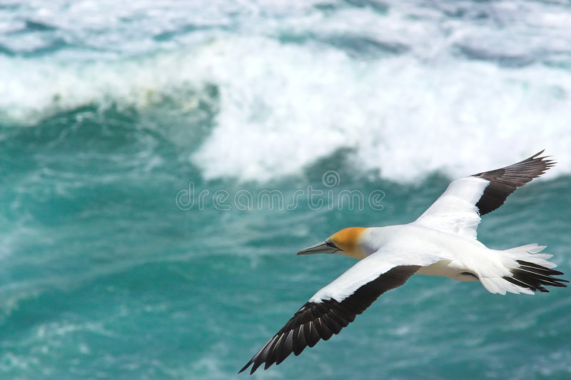 Gannet 1 Muriwai photos stock
