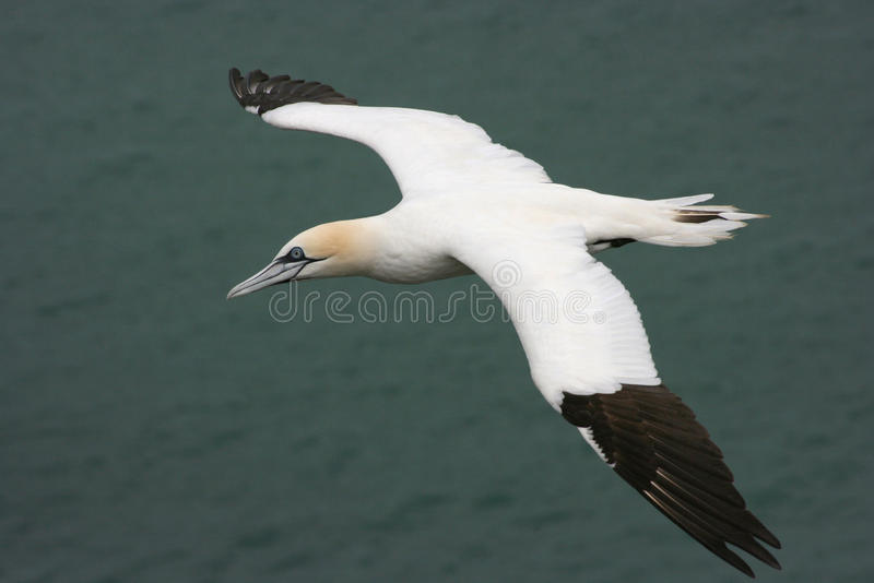 Gannet. Flying Gannet of the east cost royalty free stock images