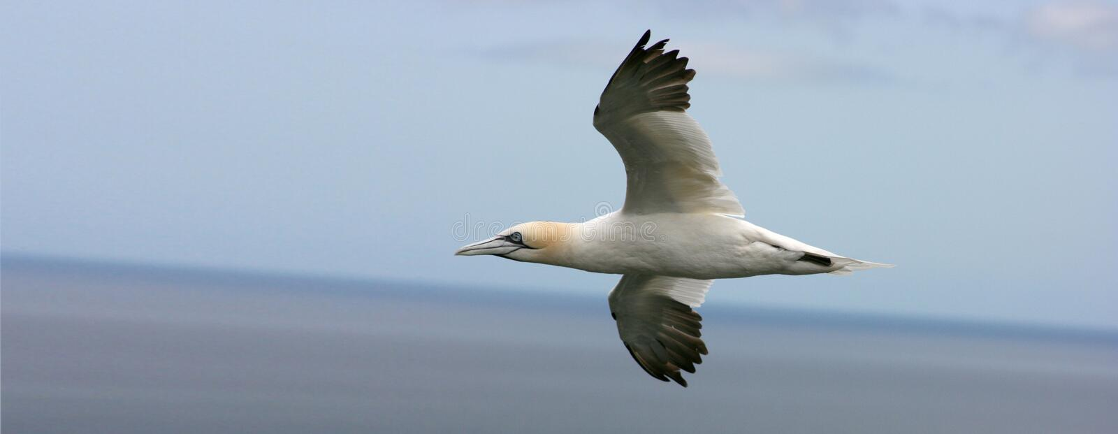 Gannet. Flying Gannet of the east cost royalty free stock photography