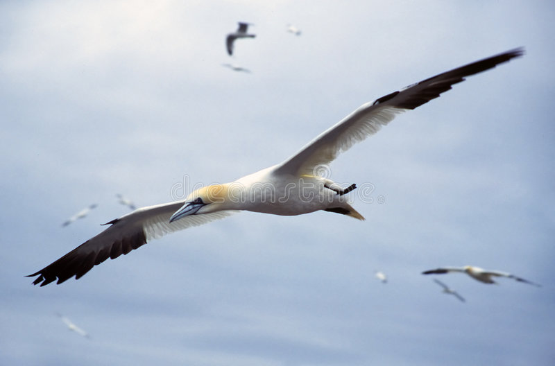 Gannet. In flight gliding over colony stock photography
