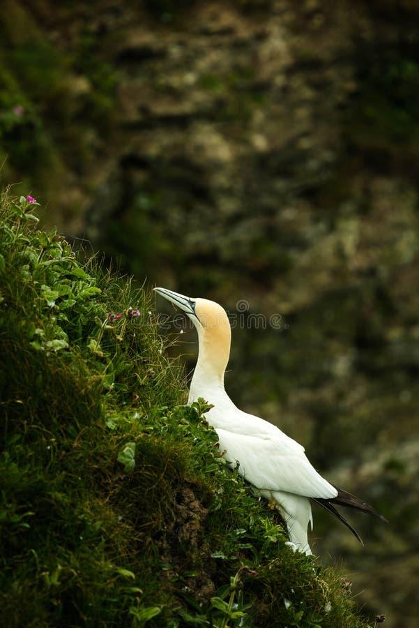 gannet 库存照片