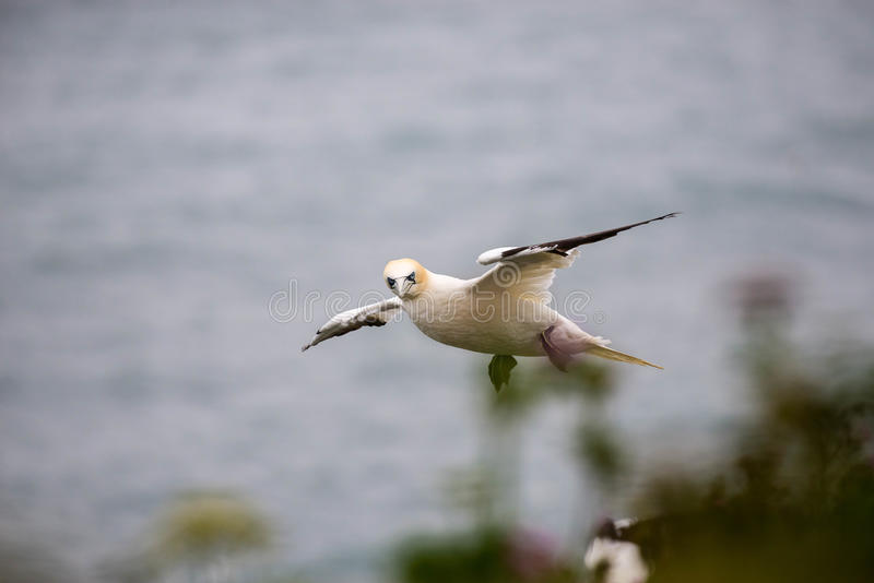 gannet 图库摄影