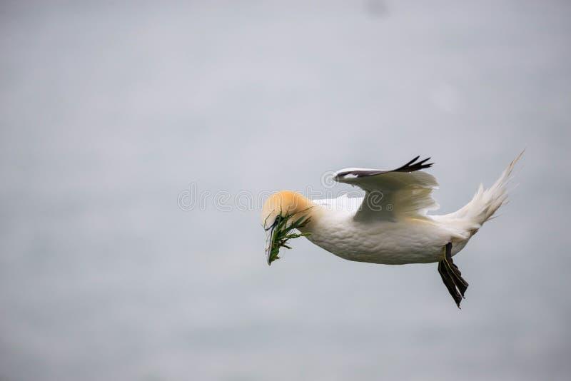 gannet 免版税库存照片