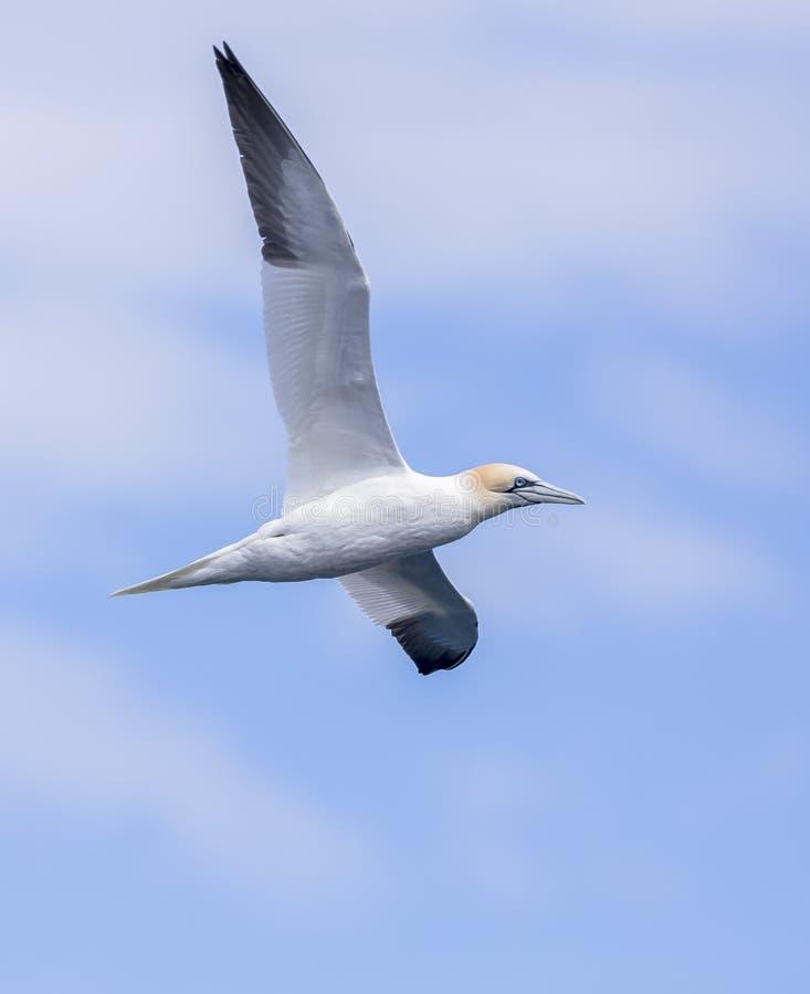 gannet royalty-vrije stock foto's