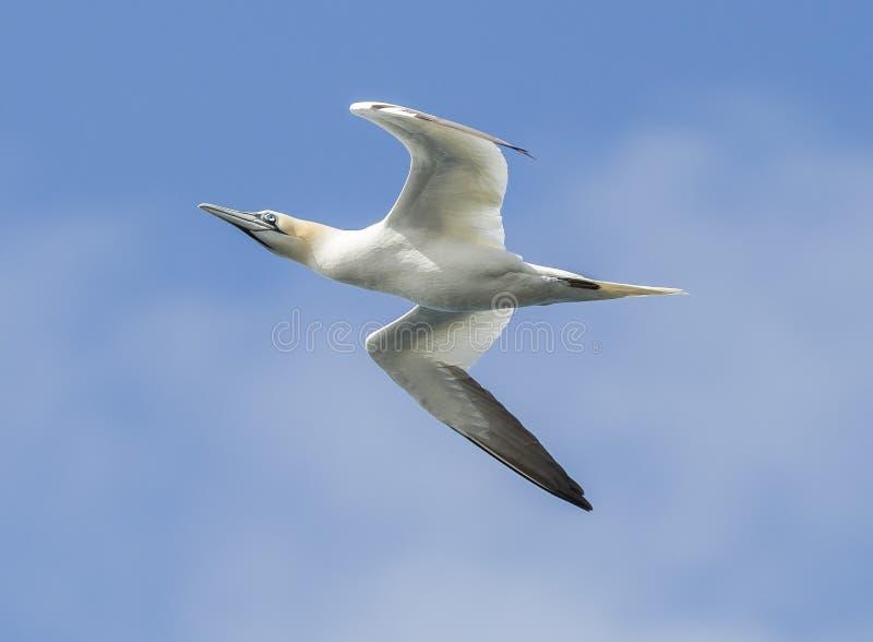gannet stock foto