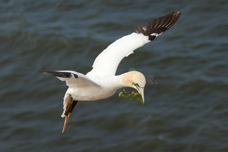 Download A gannet above the sea stock photo. Image of bill, image - 23721228