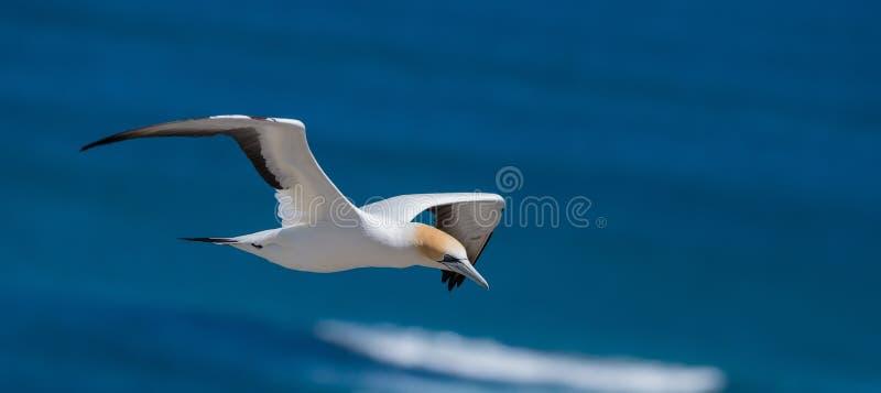 Gannet altísimo, Muriwai, Nueva Zelanda - 2 fotos de archivo libres de regalías