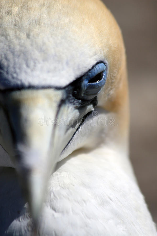 Gannet Birds Eye. Gannet at Gannet Rock outside Napier in Hawkes Bay area in New Zealands North Island royalty free stock photography