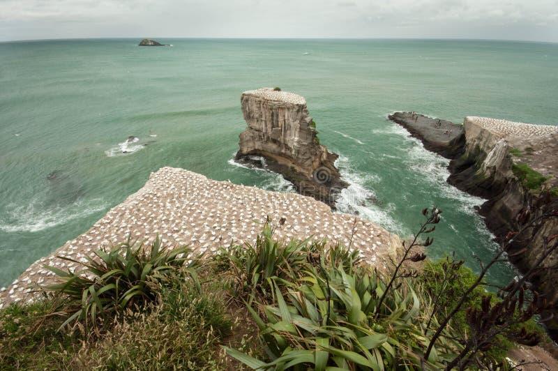 Gannet calony en la playa de Muriwai fotos de archivo libres de regalías