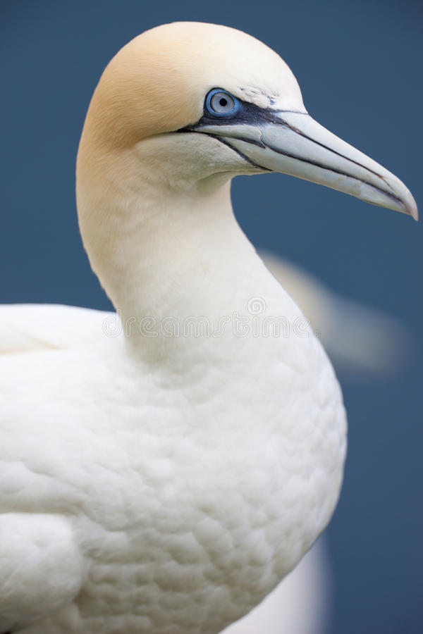 Gannet Close up. A gannet nesting in close range royalty free stock image