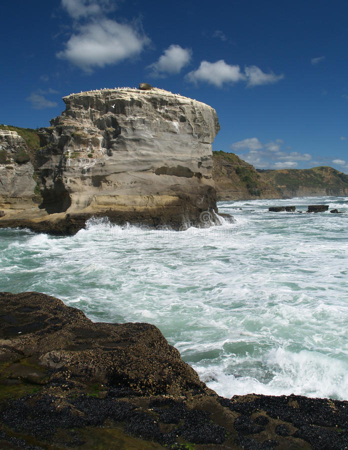 Gannet colony. Western shore of Auckland, New Zealand stock photo