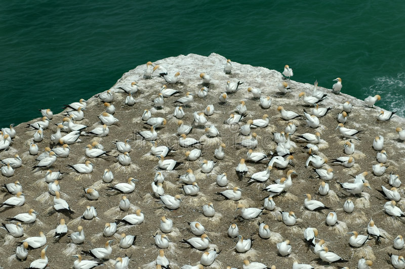 Download Gannet Colony Murawai Stock Image - Image: 1466861