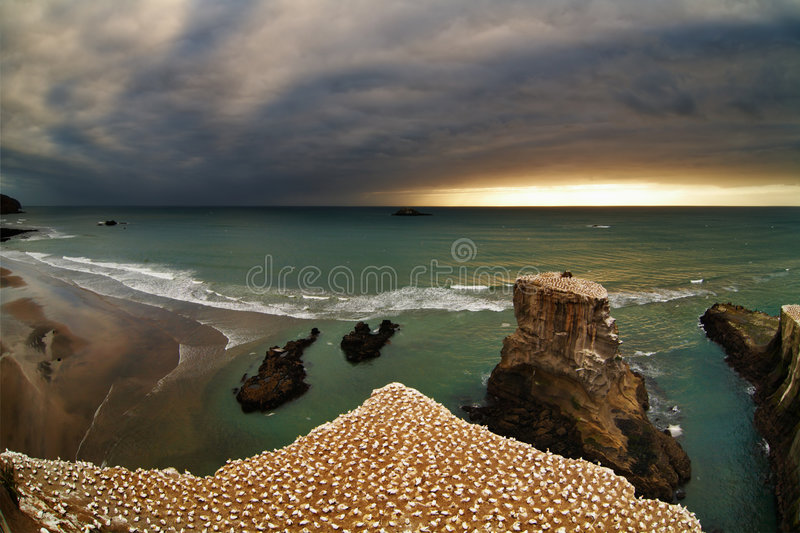 Gannet colony, New Zealand. Gannet colony, Muriwai Beach, New Zealand royalty free stock photography