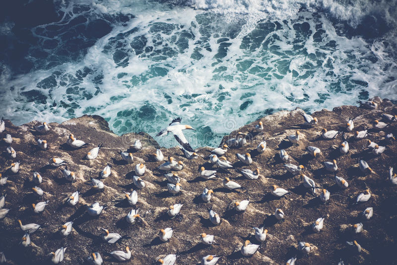 Gannet colony by the sea, Deep Color. View from above of a gannet sea bird colony nesting on a cliff by the ocean stock photos