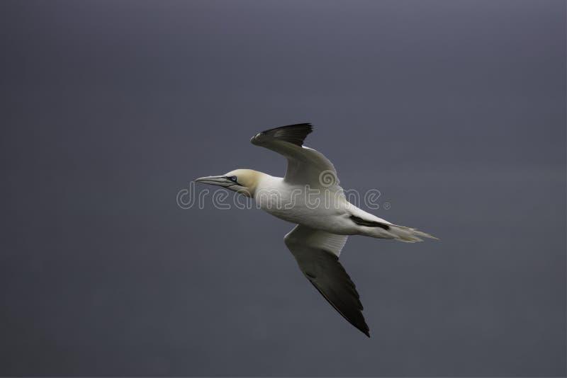 Gannet, das durch die Luft über der Nordsee gleitet stockfotos