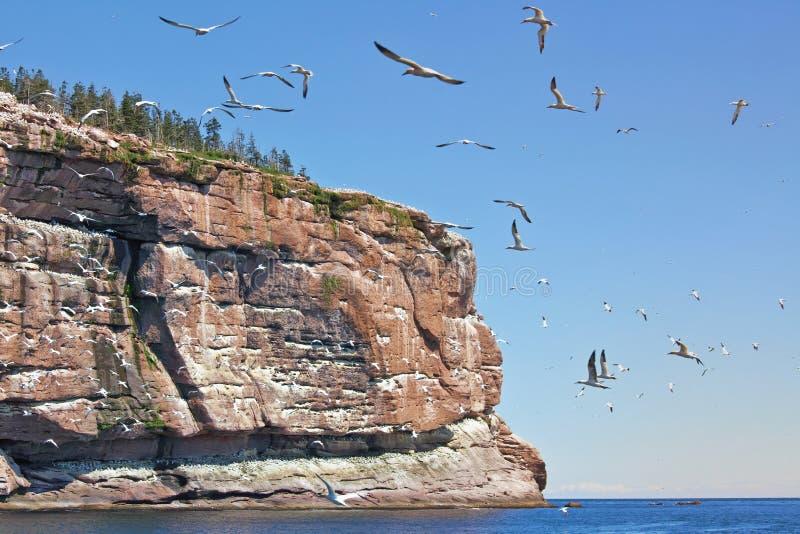 Gannet do norte fotos de stock