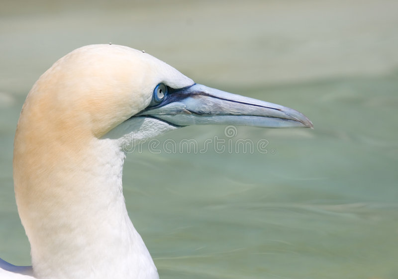 Gannet do norte fotografia de stock royalty free