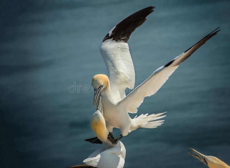 Gannet do norte de aterragem imagens de stock royalty free