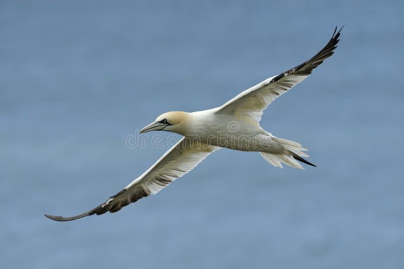 Gannet do norte no vôo fotos de stock royalty free