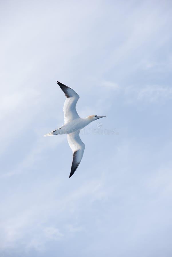 Gannet do norte no vôo fotografia de stock