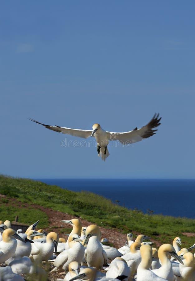 Gannet do norte no vôo imagem de stock